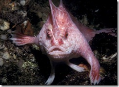 new-handfish-species-pink_20881_600x450